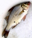 1 White bass in the bucket.